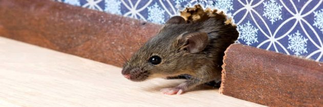 Ratti o topi in casa: Come difendersi