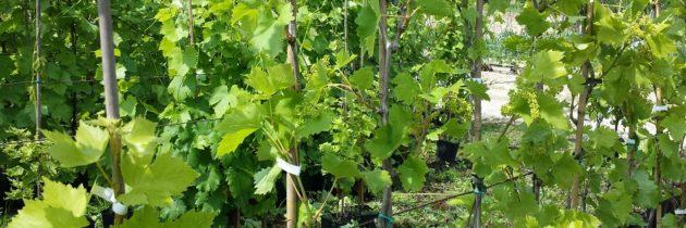 Vivai Lazzaro, produzione e commercializzazione di piante