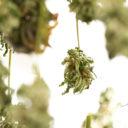 Come essiccare la cannabis